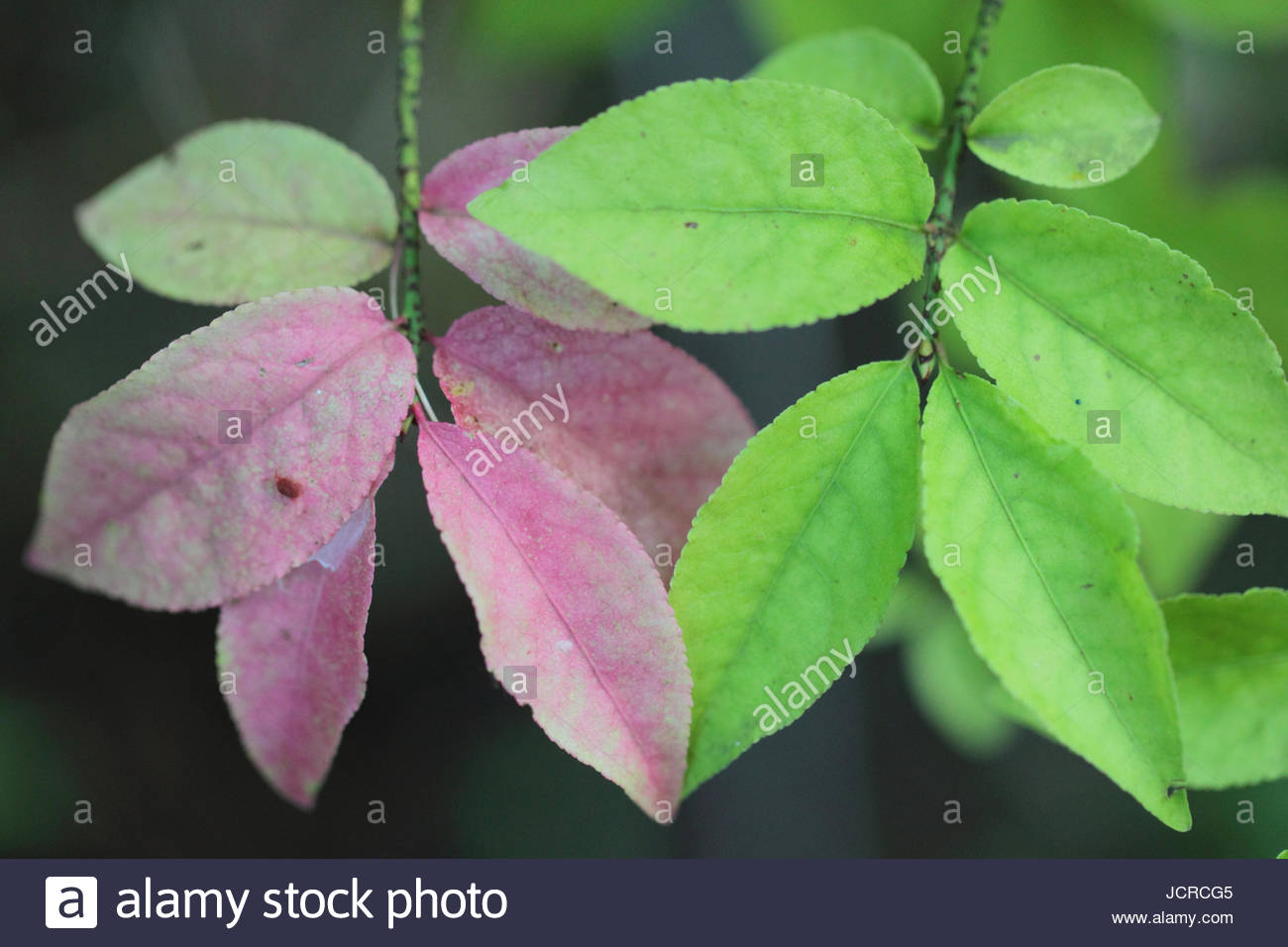 Close up of spindle, European spindle, or common spindle leaves, Euonymus europaeus, a species of flowering plant - Stock Image
