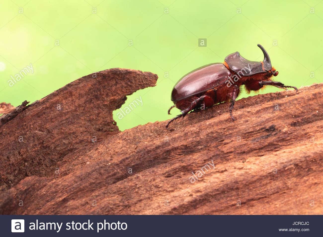 Portrait of an European rhinoceros beetle, Oryctes nasicornis, a large flying beetle belonging to the family Dynastinae. - Stock Image