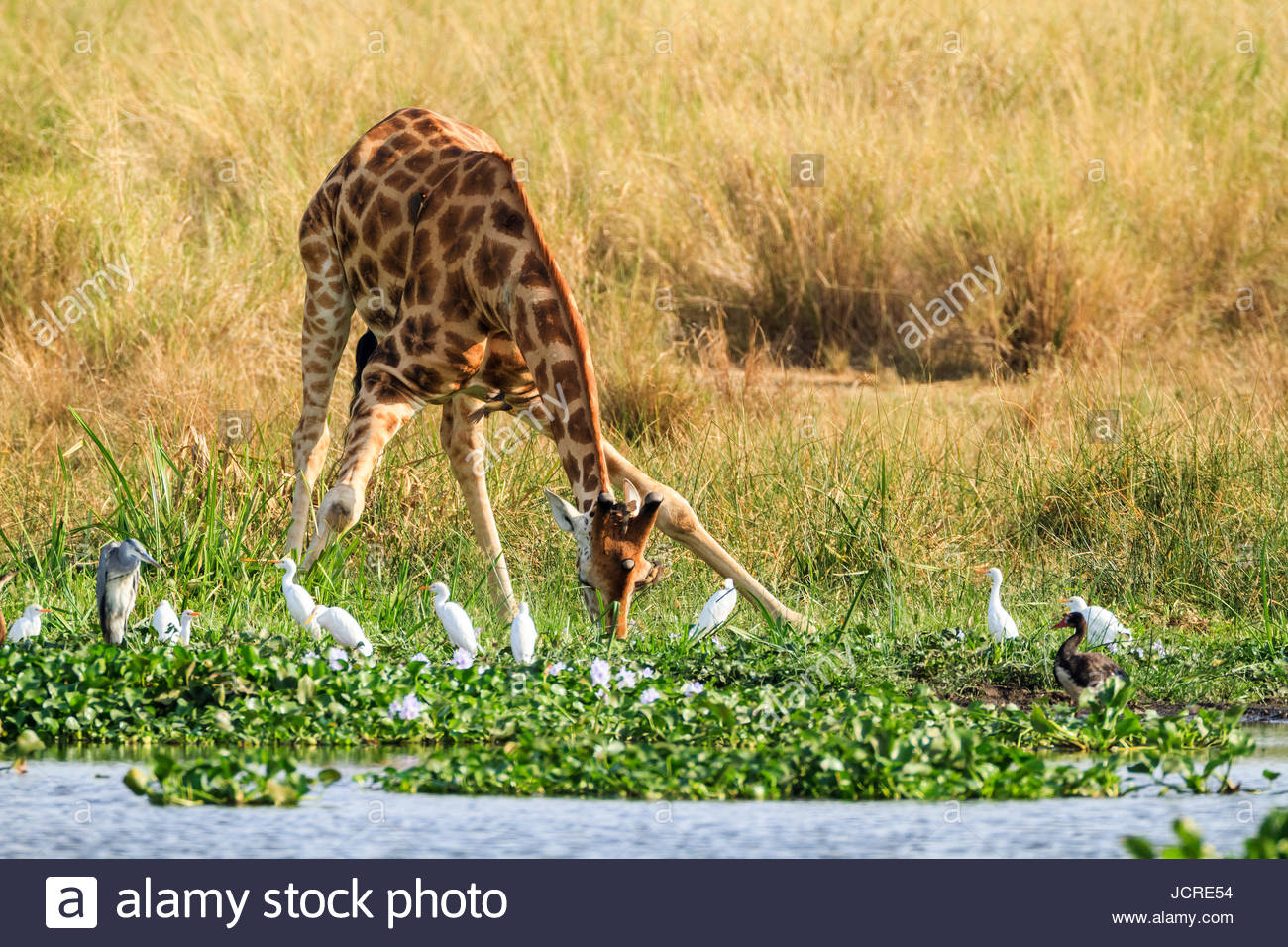 A Rothschild's giraffe, Giraffa camelopardalis rothschildi, drinks at the water's edge surrounded by water - Stock Image
