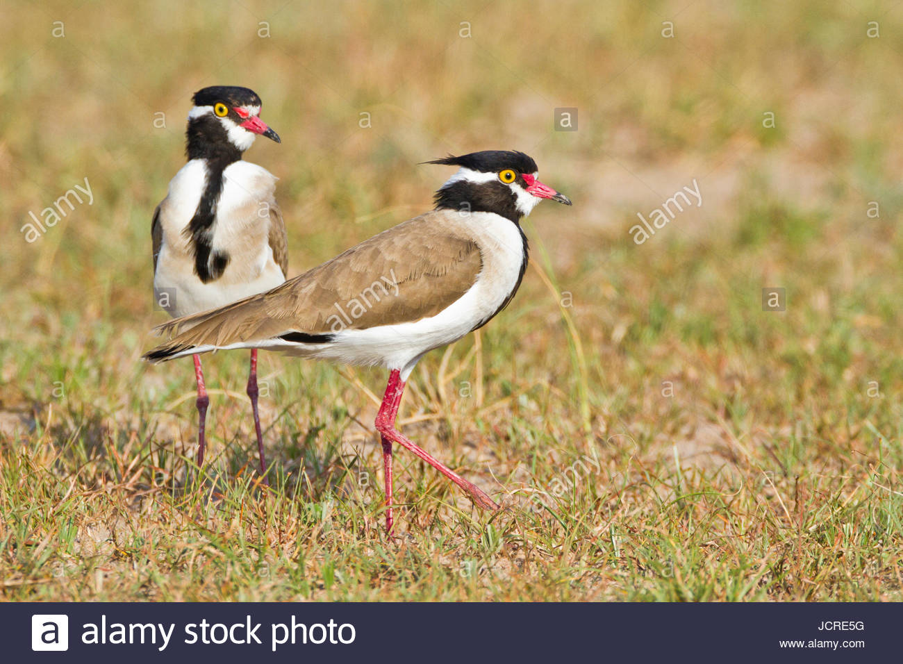 Two black-headed lapwing, Vanellus tectus, at Murchison Falls National Park. - Stock Image