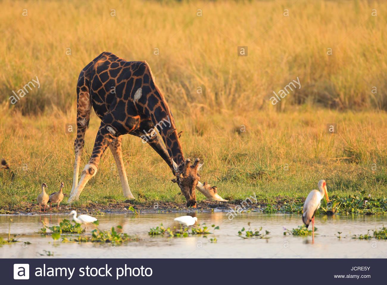 A Rothschild's giraffe, Giraffa camelopardalis rothschildi, drinking surrounded by water birds. - Stock Image