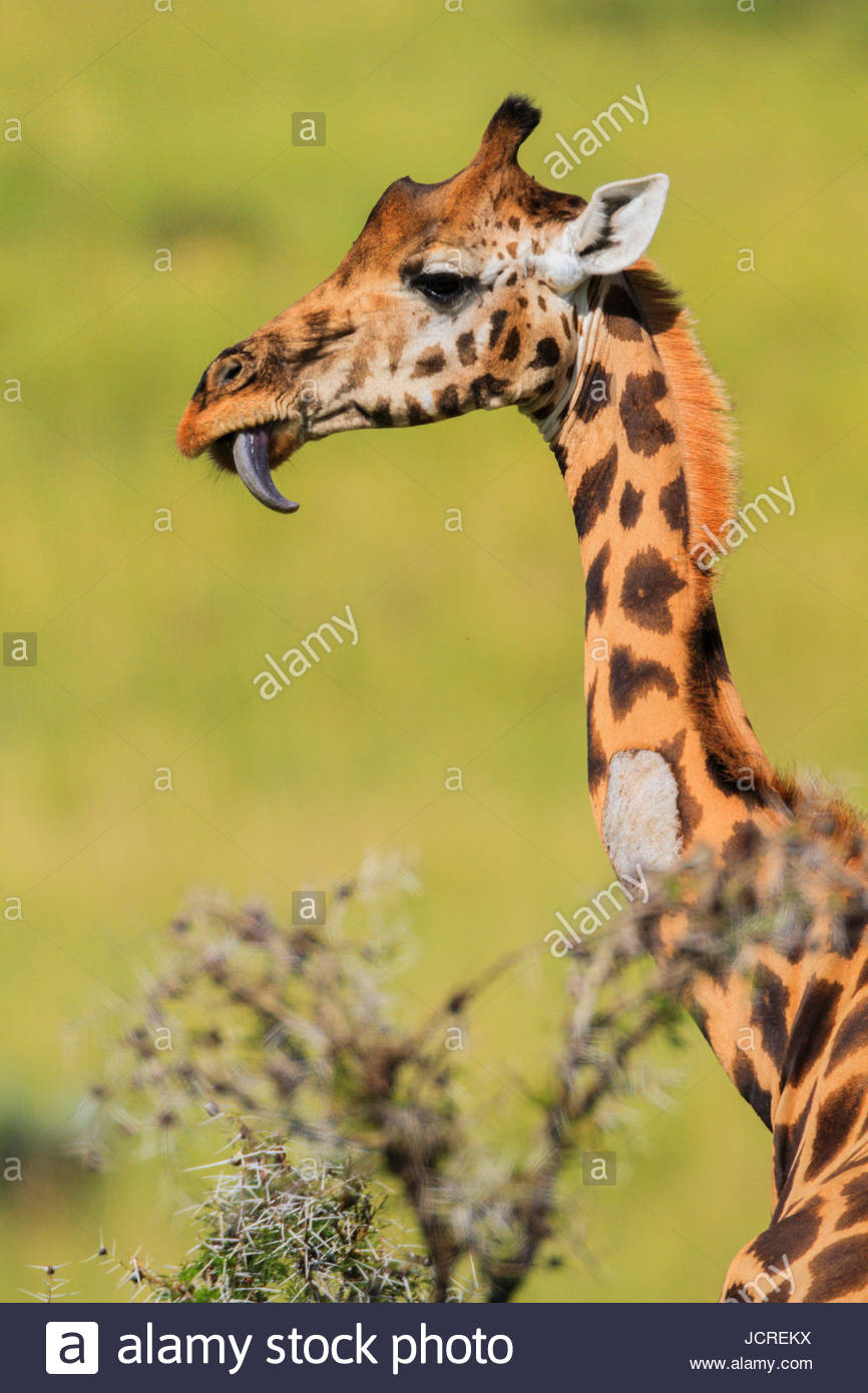 Rothschild's giraffe, Giraffa camelopardalis rothschildi, with its tongue sticking out. - Stock Image