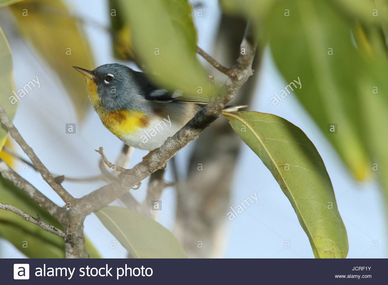 A northern parula, Setophaga americana, perching on the branch of a tree. - Stock Image