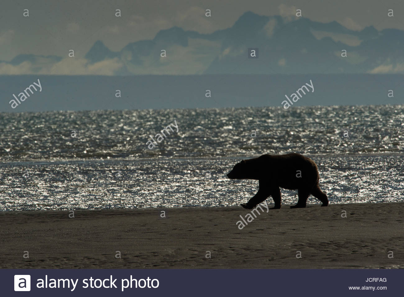Silhouette of a Brown Bear, Ursus arctos, walking near the water at Silver Salmon Creek Lodge in Lake Clark National - Stock Image