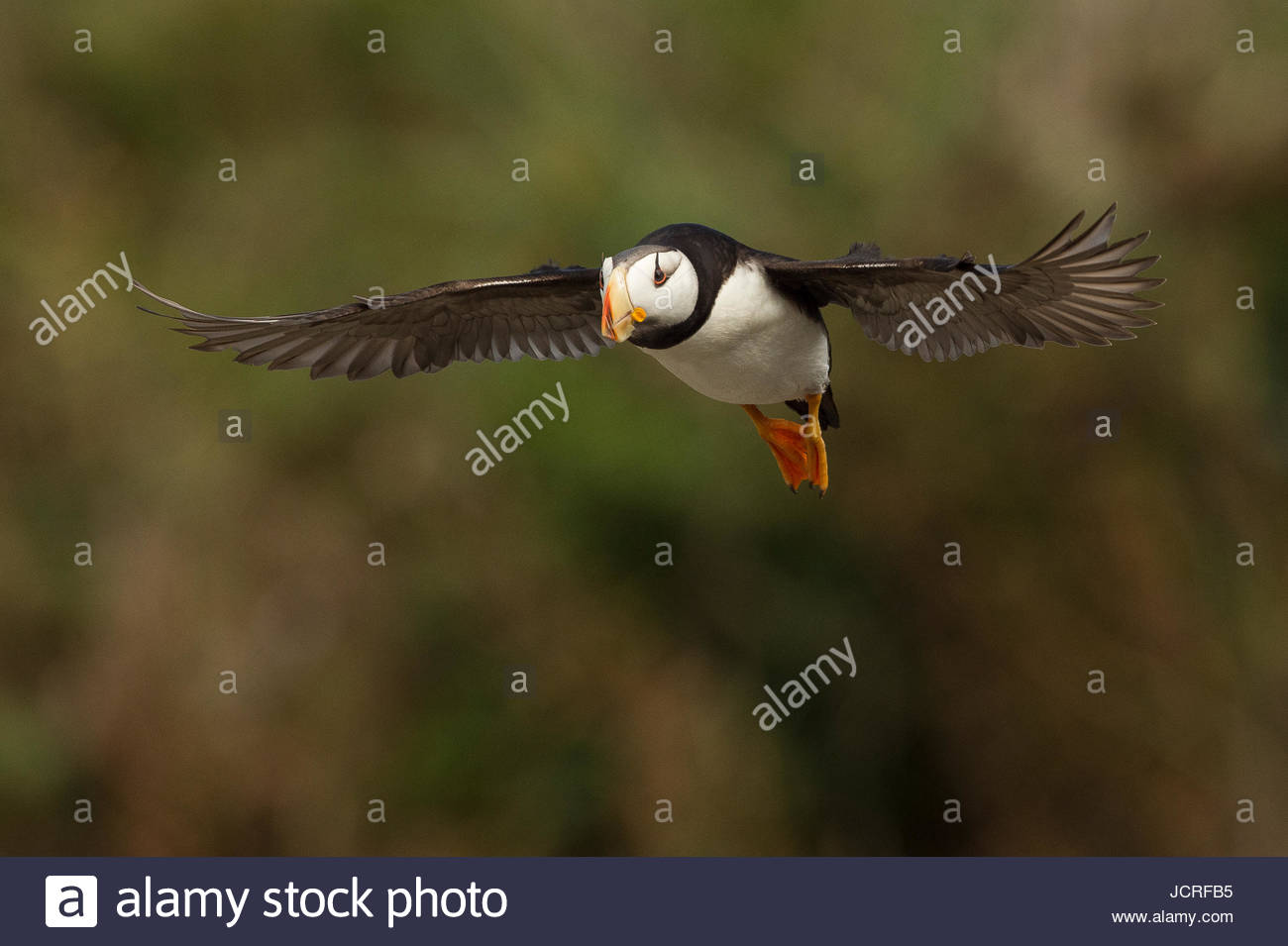 Puffin in flight above Lake Clark National Park. Stock Photo