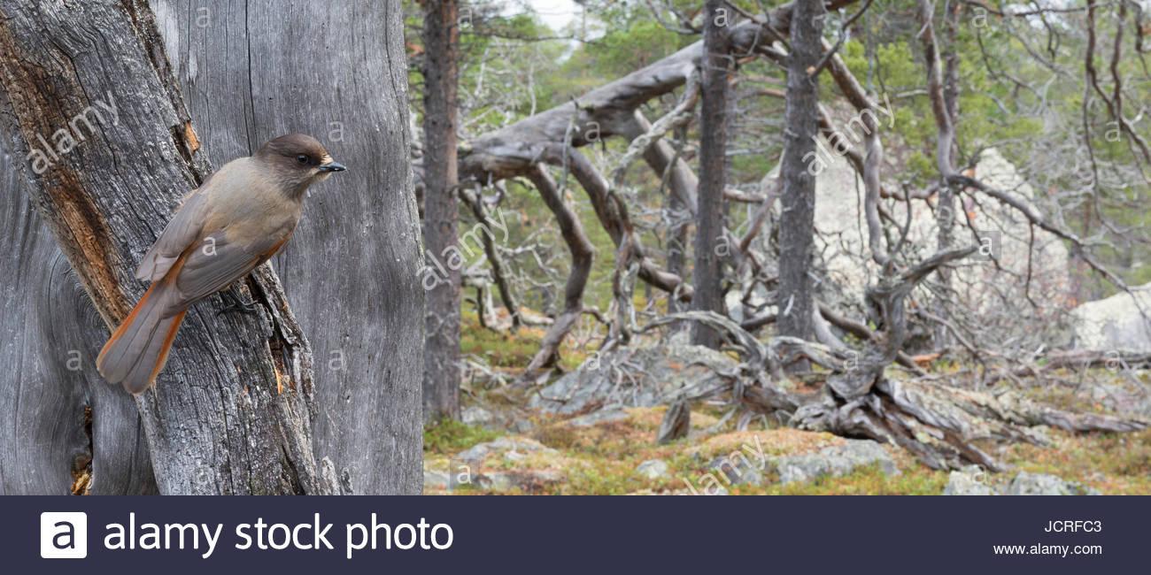 Siberian Jay, Perisoreus infaustus, in old Scots pine forest. Stora Sjöfallet National Park, World Heritage Laponia, Stock Photo