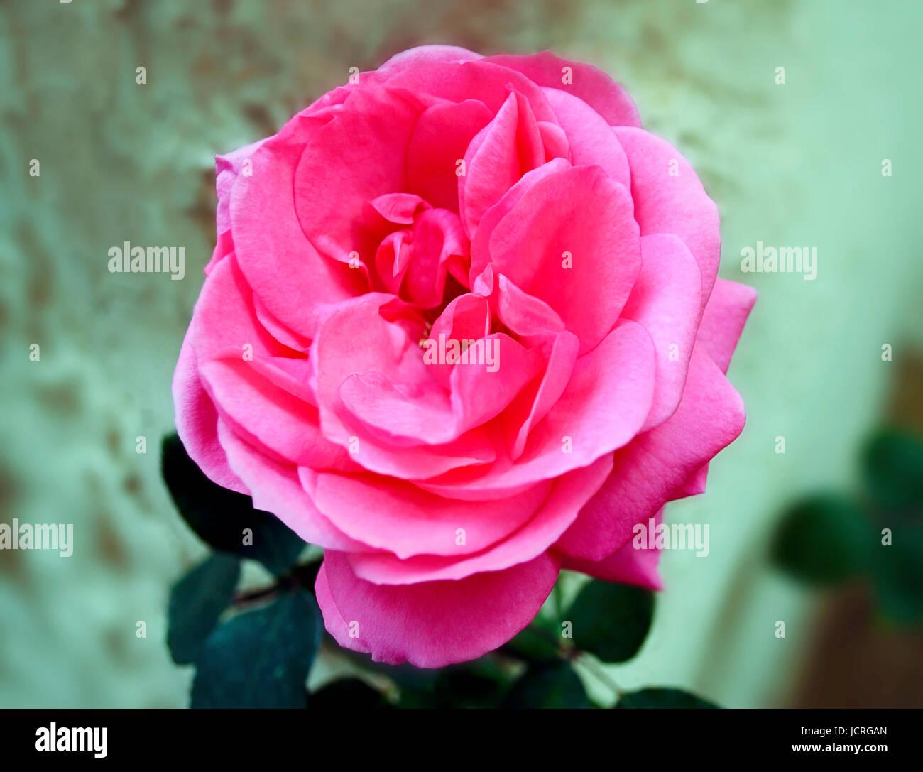 Blooming pink rose with big petals spring flowers greek botanic blooming pink rose with big petals spring flowers greek botanic garden mightylinksfo