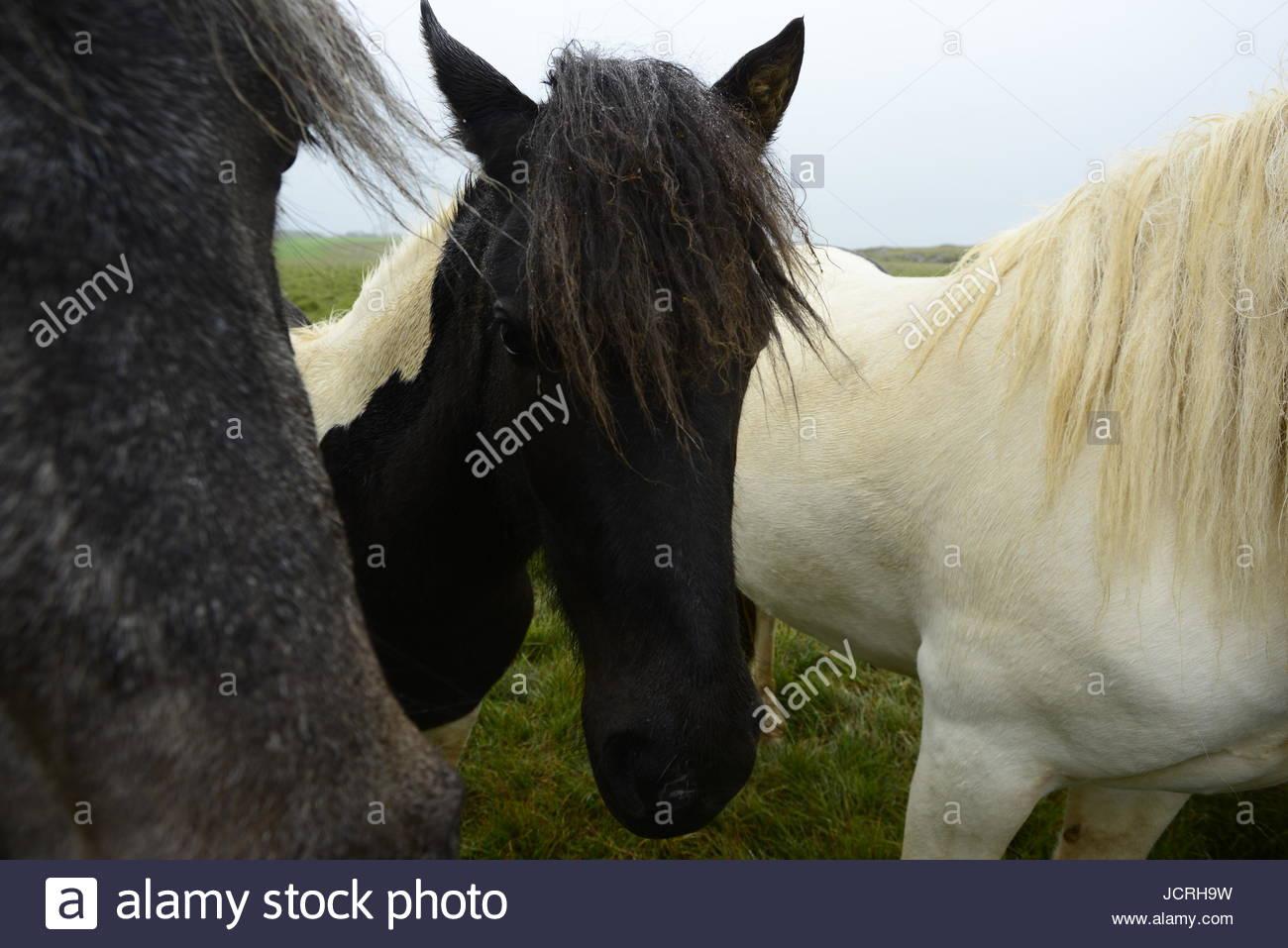 Icelandic horses, Equus ferus caballus. - Stock Image