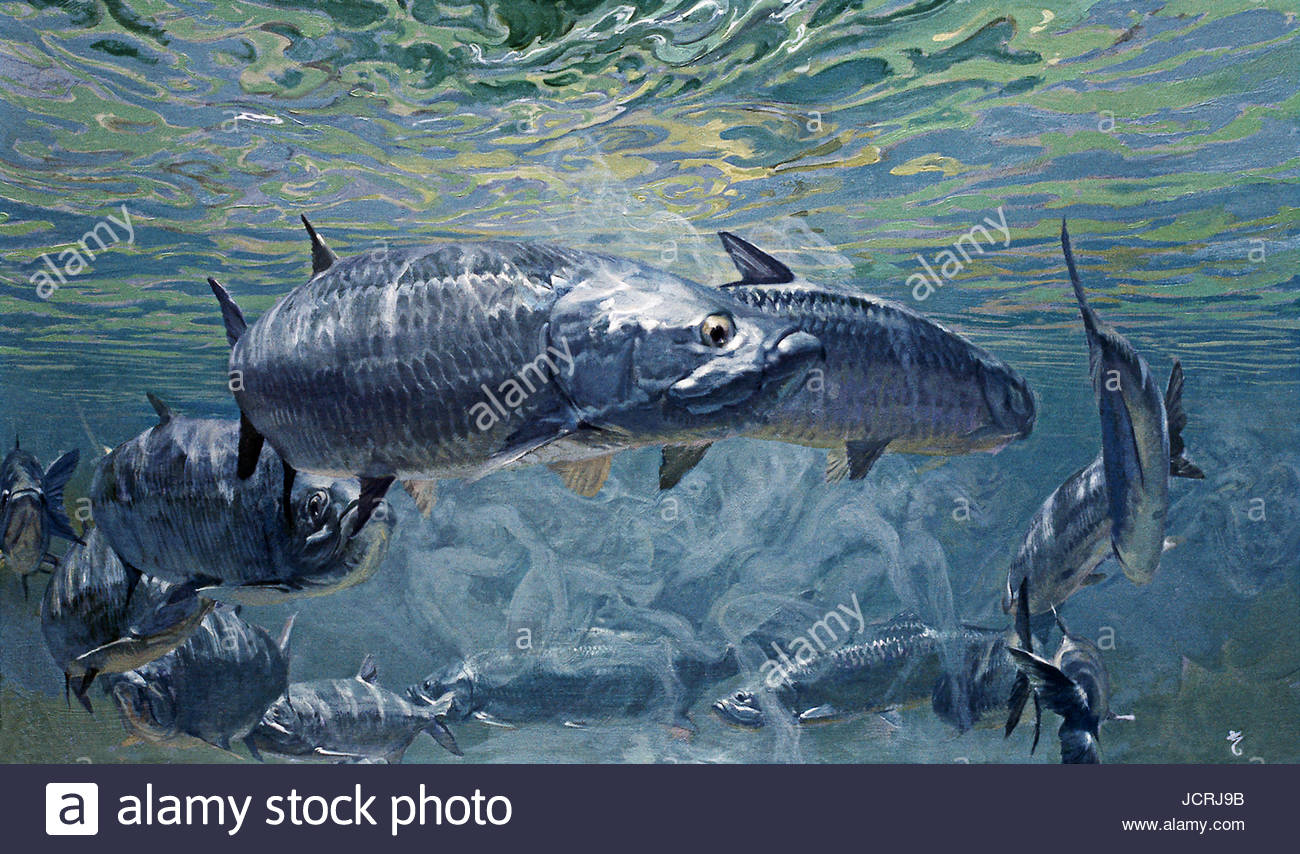 Giant tarpon in the midst of their mating ritual. - Stock Image