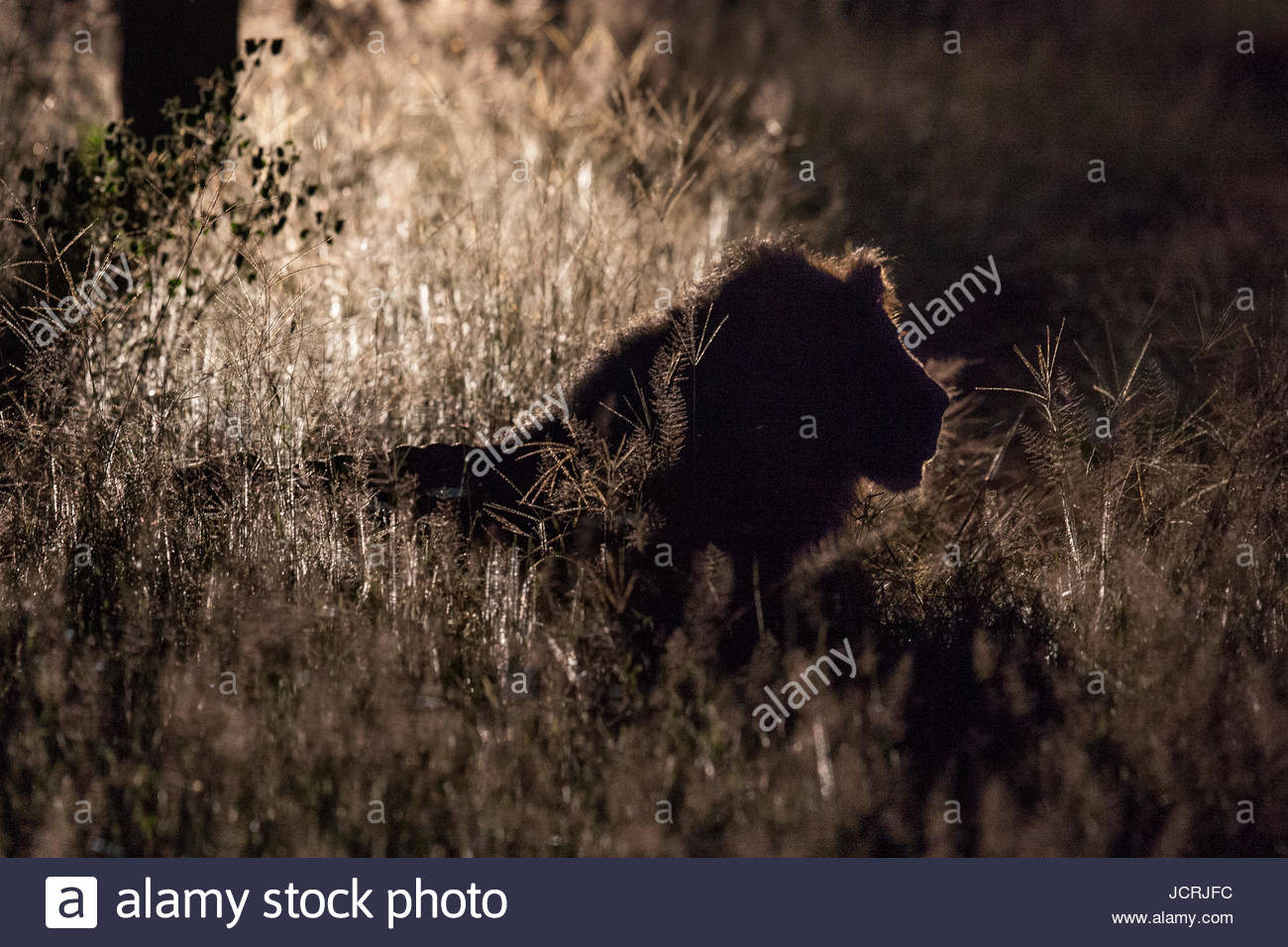 A large male lion, Panthera leo, resting in tall grass. Stock Photo