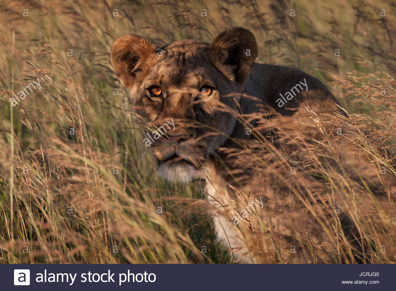 An adult lioness peering through the tall grass. - Stock Image