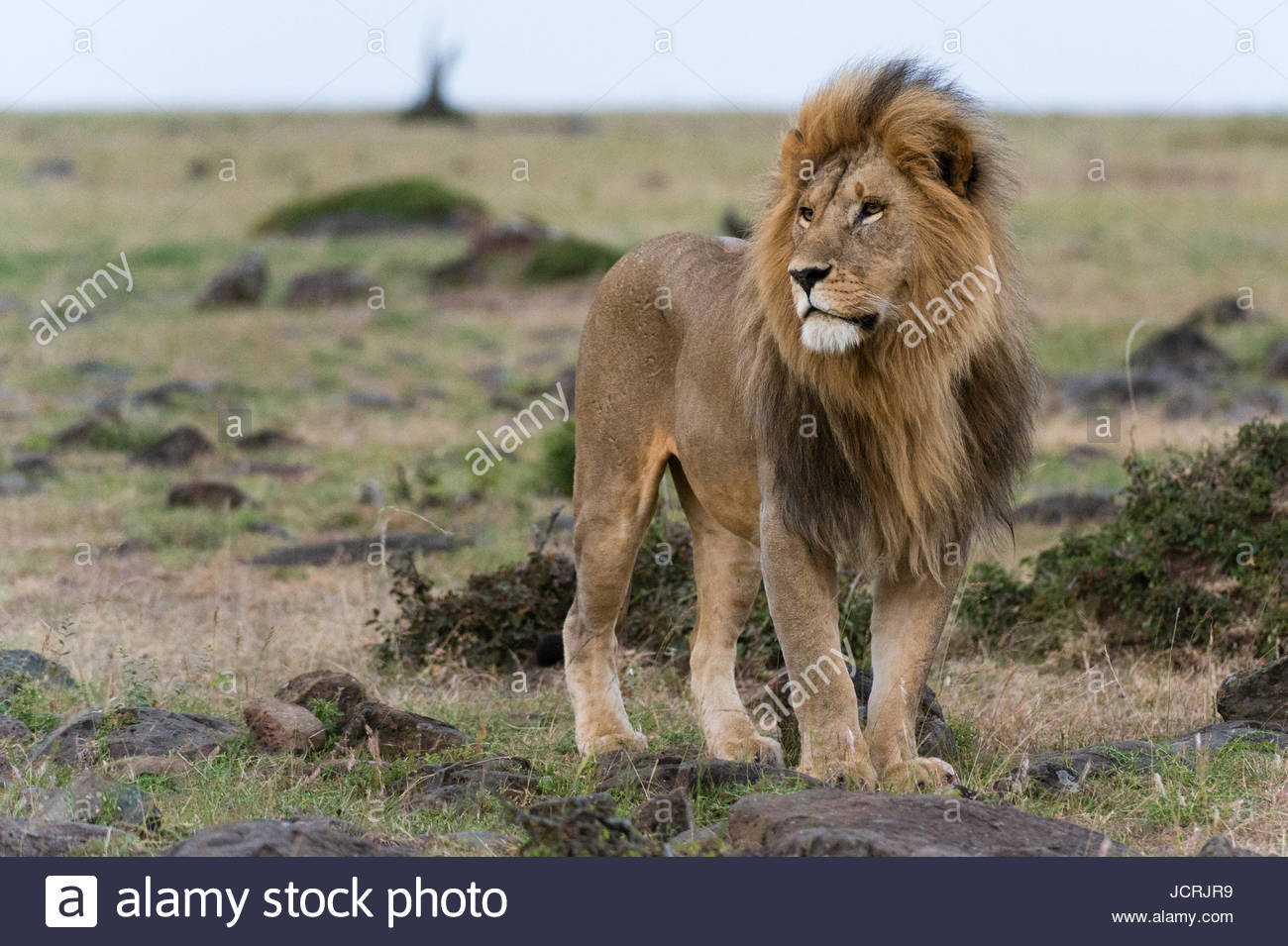A male lion, Panthera leo, looking at the surroundings. - Stock Image