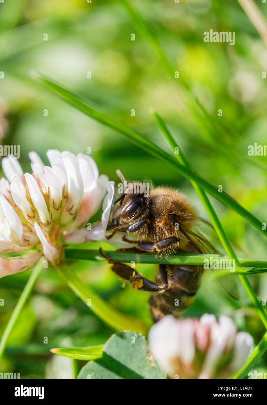 Western honey bee or European honey bee (Apis mellifera) collects nectar, pollen from and pollinates clover in early - Stock Image