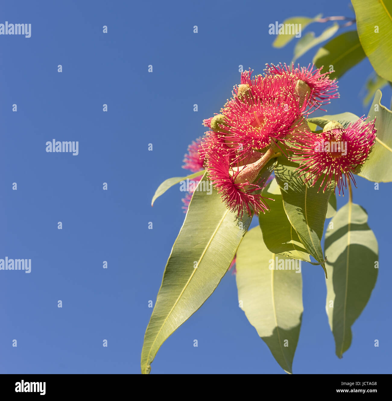 Beautiful brilliant red eucalyptus flowers of Australian native gum tree with green gum leaves against clear blue - Stock Image