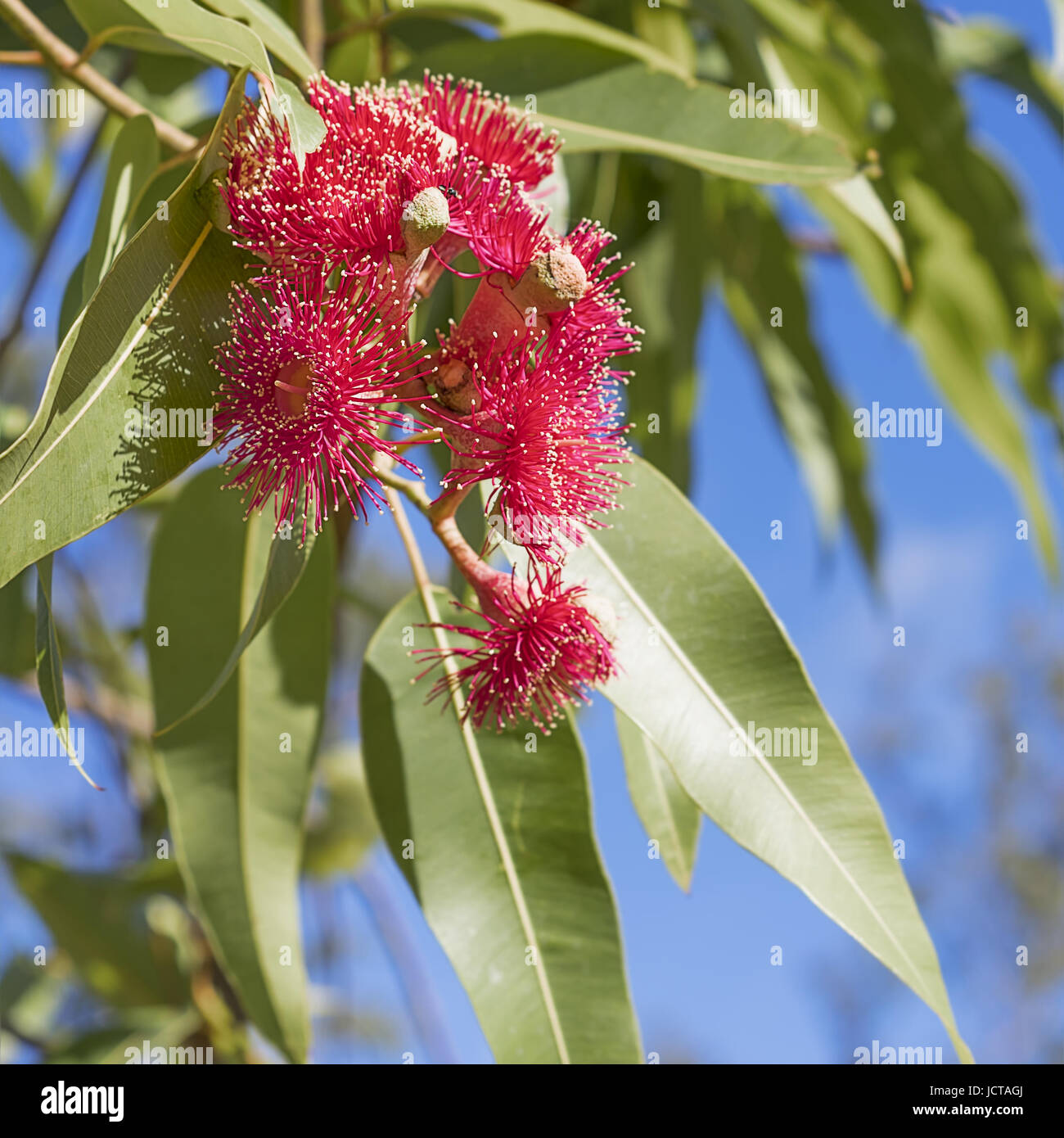Australian iconic red eucalyptus flowers with green gum leaves and blue sky background close up in square format - Stock Image
