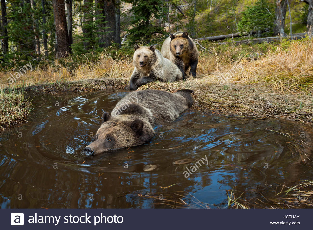 Yellowstone National Park WY. Bear 'Bathtub' spring where Grizzly, Ursus horribilis and Black Bear,Ursus - Stock Image