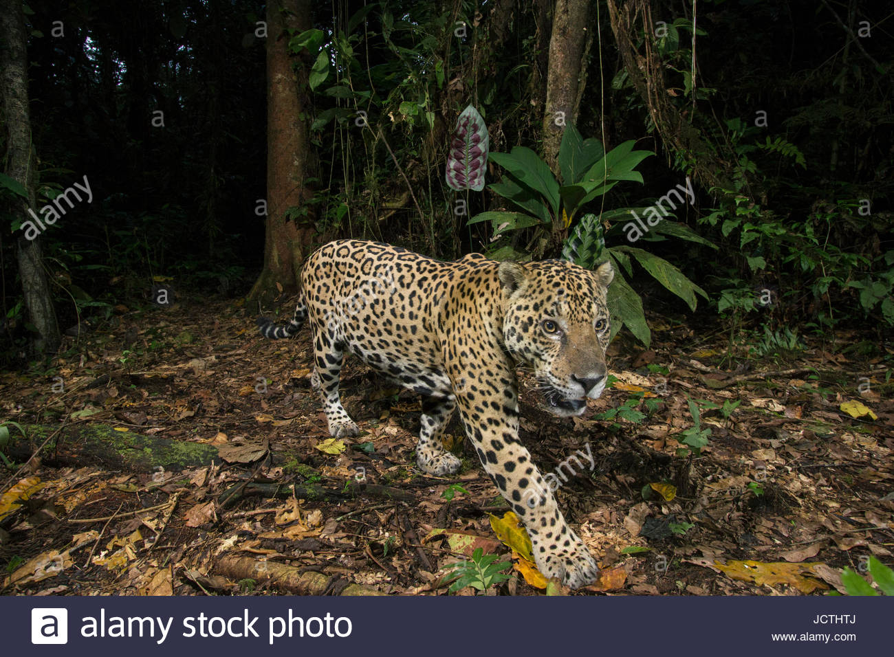 A remote camera captures an adult jaguar in Manu National Park. - Stock Image