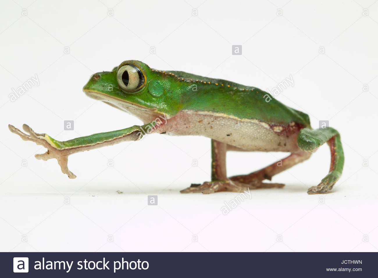 Portrait of a monkey tree frog from Manu National Park. - Stock Image