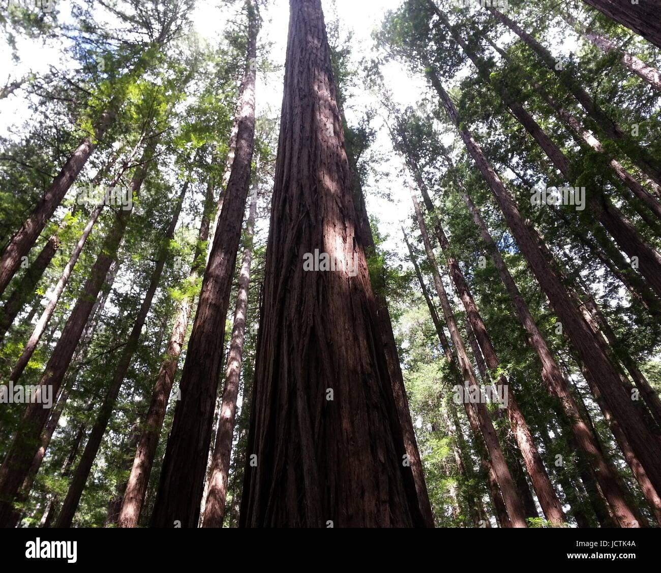 Towering Redwoods - Stock Image
