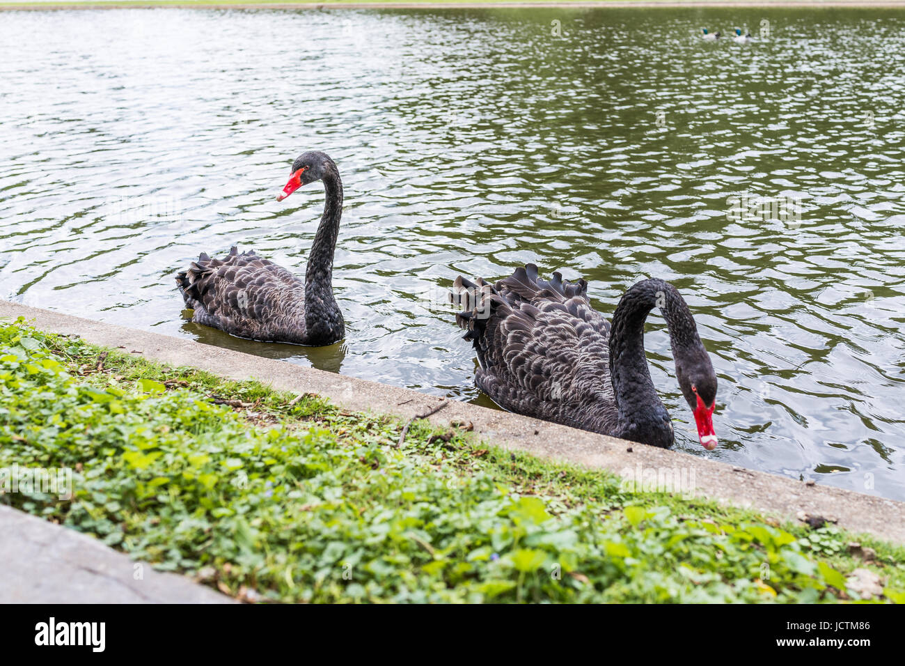 Two black swans with red beaks swimming in lake in park during summer Stock Photo