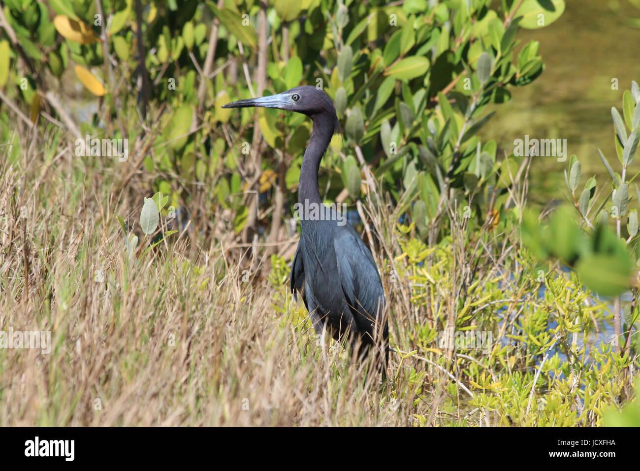 Little Blue Heron at J.N. 'Ding' Darling National Wildlife Refuge - Stock Image