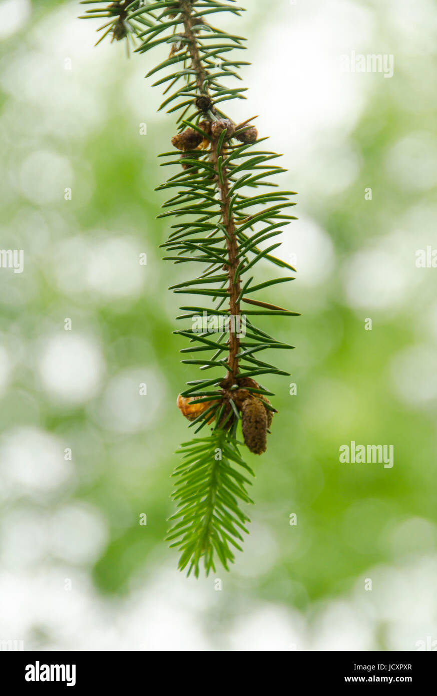 Norway spruce twig with flowers - Stock Image