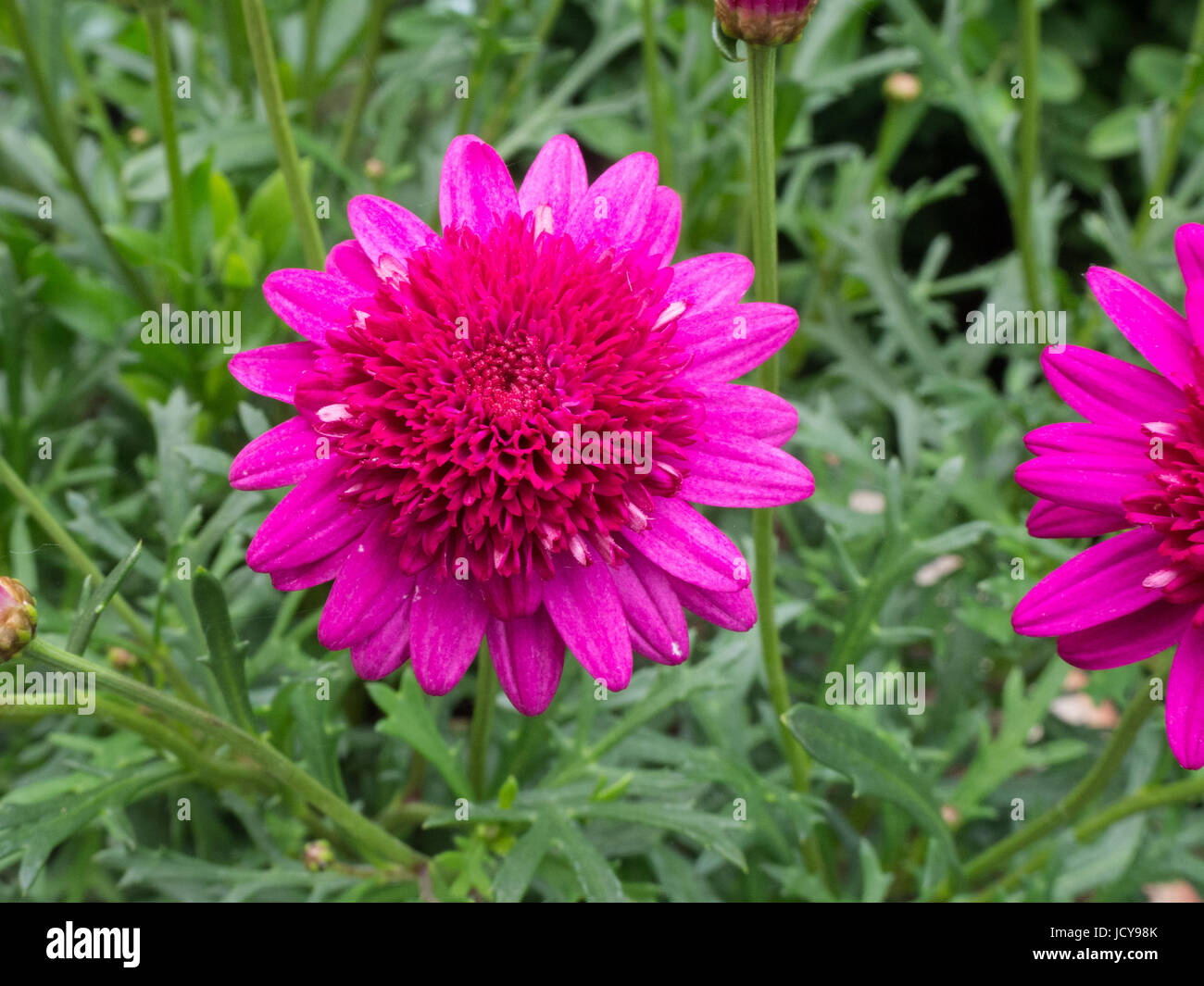 Close up of a single flower of Argyranthemum Madeira Crested Hot Pink - Stock Image