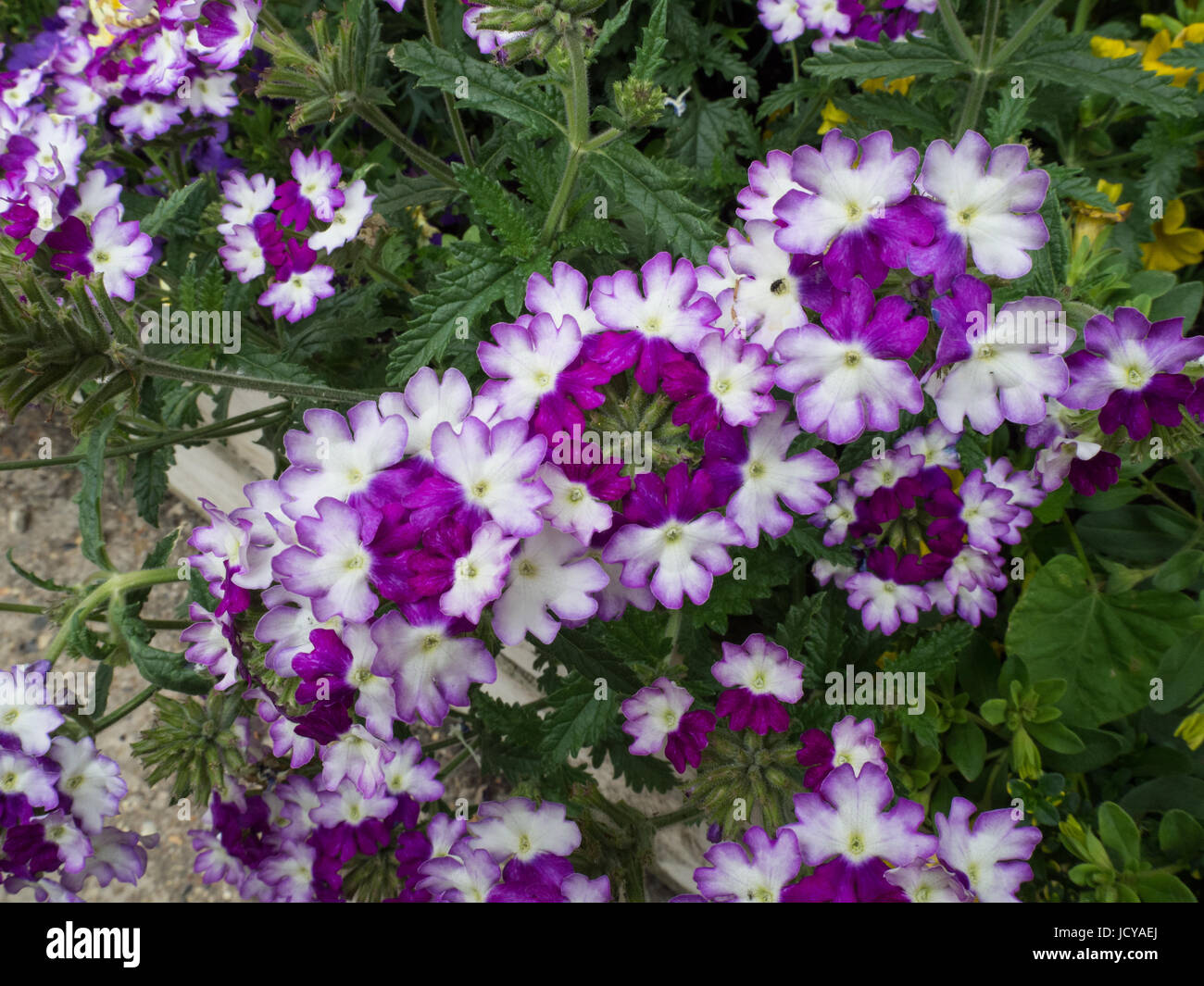 Close up of the flowers of Verbena Sparkle Dark Violet - Stock Image