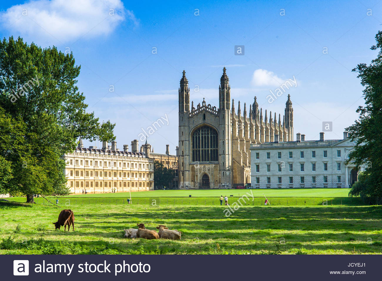 Cows graze on the Backs in front of Kings College Chapel, part of the University of Cambridge, Cambridge, UK - Stock Image