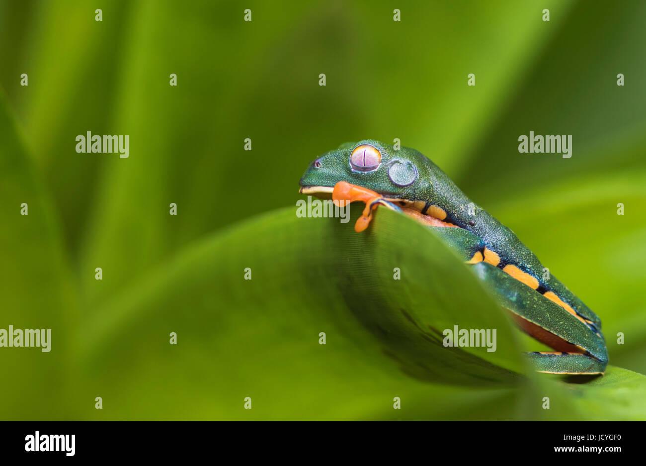 Splendid leaf frog, Cruziohyla calcarifer, climbing on a leaf,in rainforest, Laguna del Lagarto, Boca Tapada, San Stock Photo