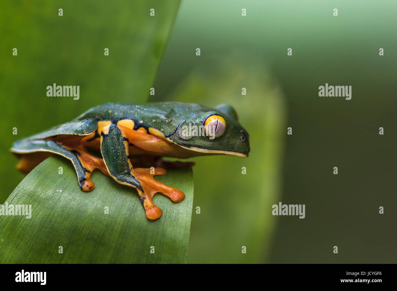 Splendid leaf frog, Cruziohyla calcarifer, climbing on a leaf, in rainforest, Laguna del Lagarto, Boca Tapada, San Stock Photo