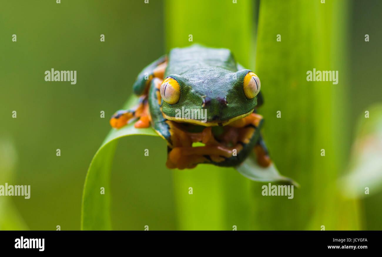 Splendid leaf frog, Cruziohyla calcarifer, climbing on a leaf, looking towards camera, in rainforest, Laguna del - Stock Image