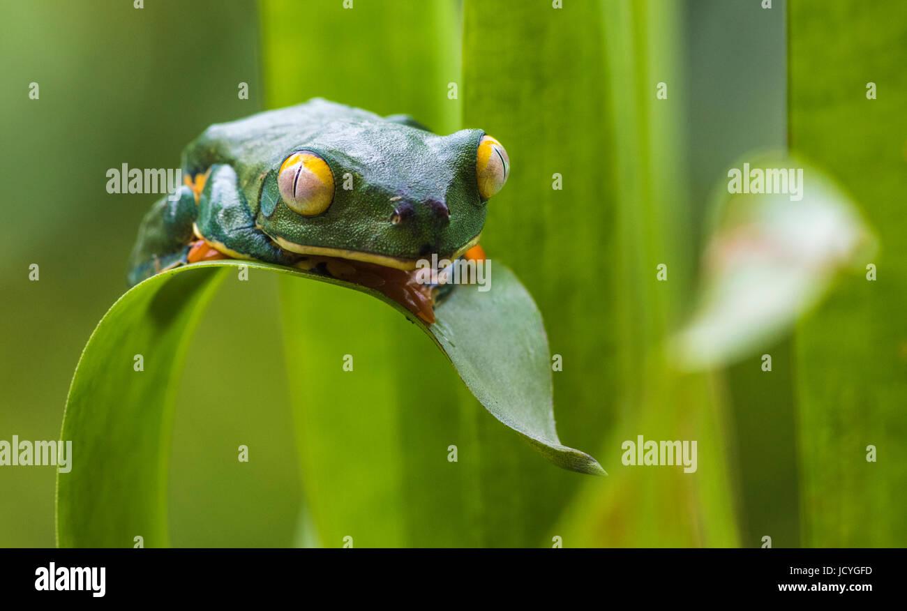 Splendid leaf frog, Cruziohyla calcarifer, climbing on a leaf, looking towards camera, in rainforest, Laguna del Stock Photo