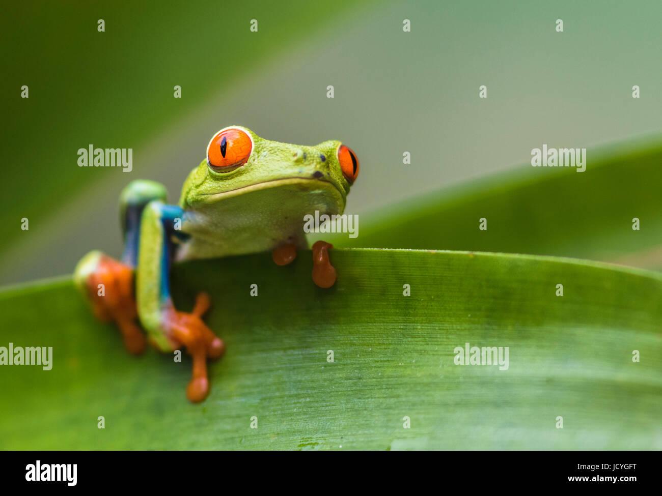 Red-eyed tree frog, Agalychnis callidryas, climbing on a leaf, looking in to the camera, Laguna del Lagarto, Boca Tapada, San Carlos, Costa Rica Stock Photo