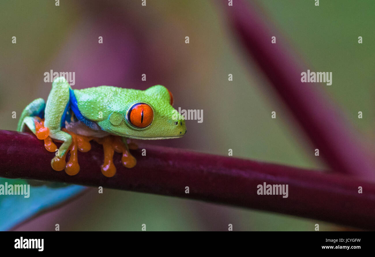 Red-eyed tree frog, Agalychnis callidryas, climbing on a steam leaf, looking to the side, Laguna del Lagarto, Boca - Stock Image