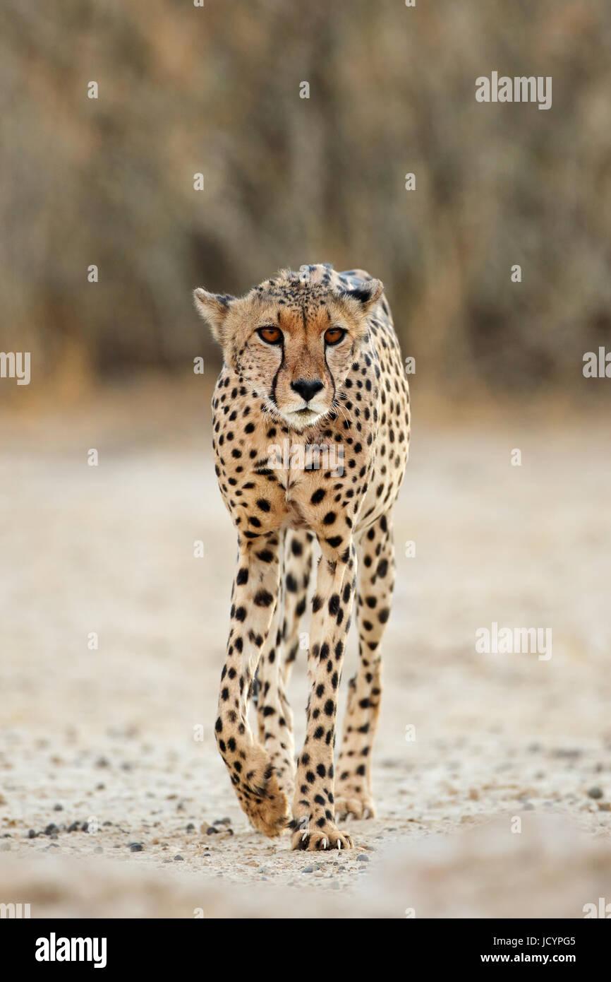 An alert cheetah (Acinonyx jubatus) walking, Kalahari desert, South Africa - Stock Image