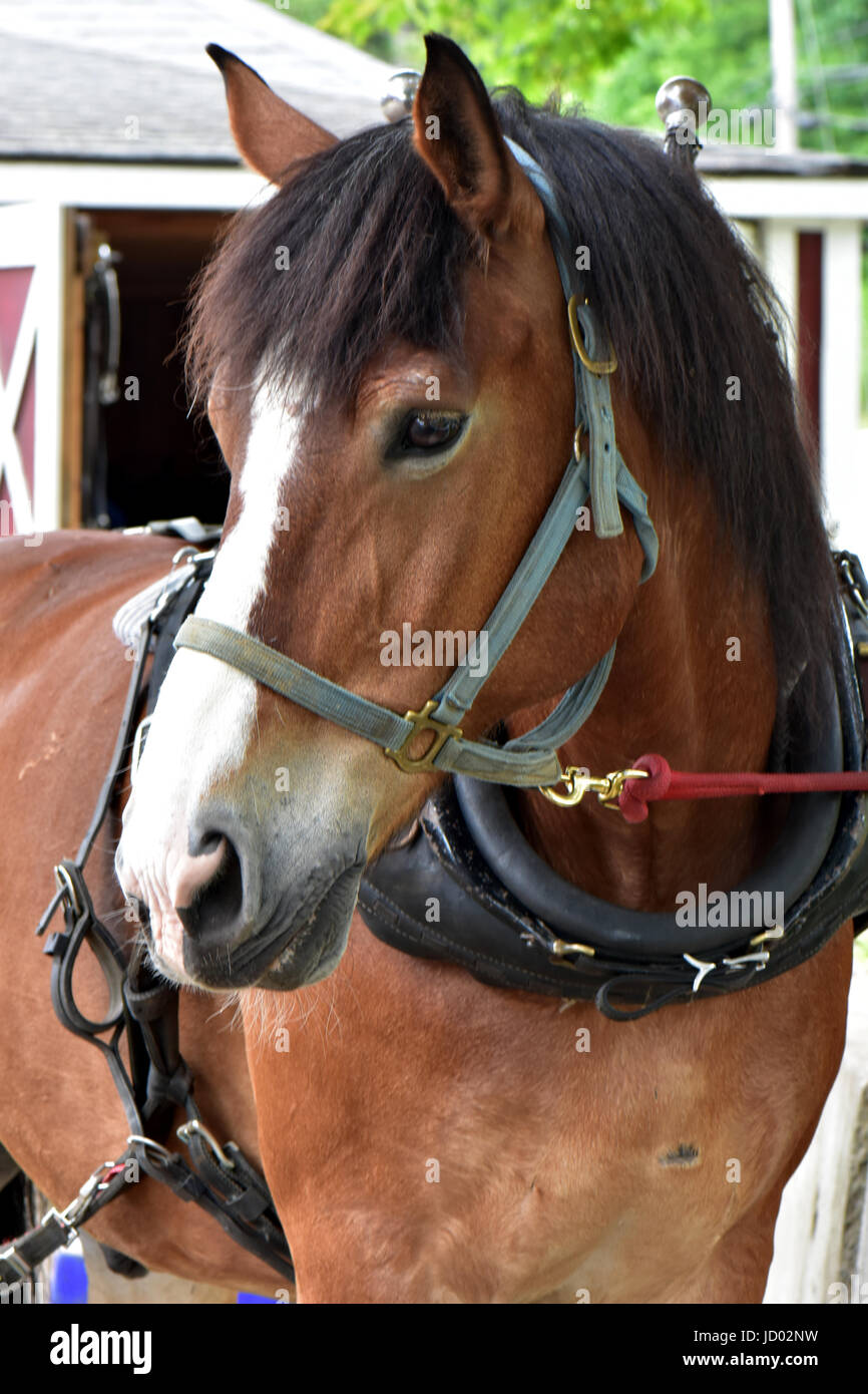 Horses at an equine draft horse rescue farm enjoy freedom and peace. - Stock Image