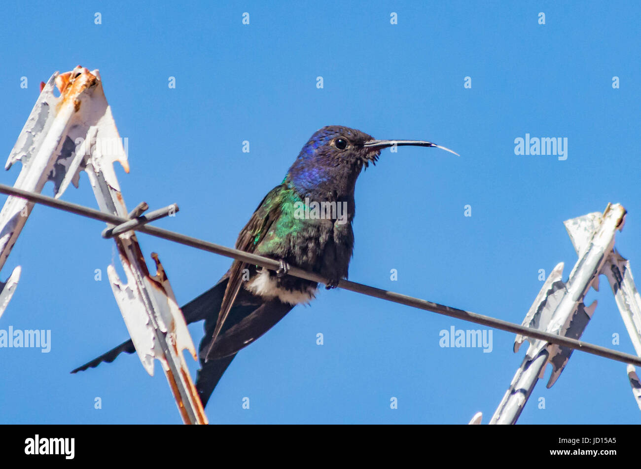 Swallow Tailed Hummingbird sticking out tongue - Stock Image