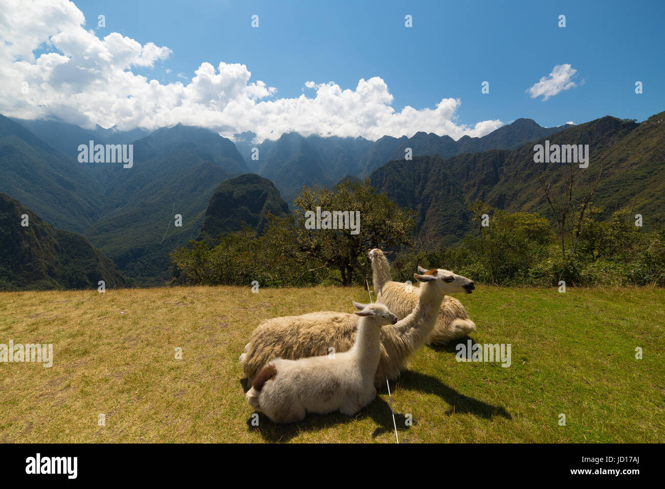 Llamas grazing and lying down on the sacred grass of Machu Picchu. Wide angle view with scenic sky. Stock Photo