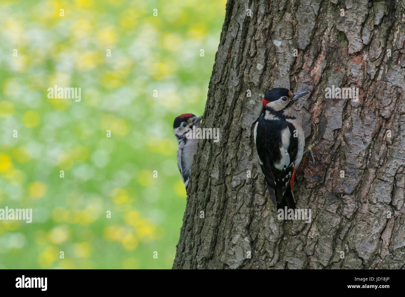 Great Spotted Woodpeckers - Stock Image