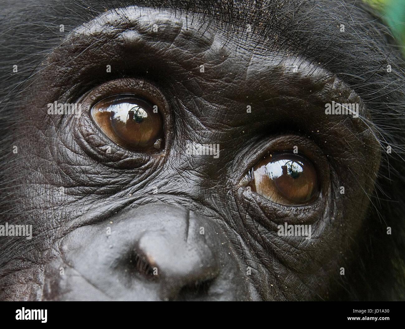 Portrait of a baby bonobo. Democratic Republic of Congo. Lola Ya BONOBO National Park. An excellent illustration. - Stock Image