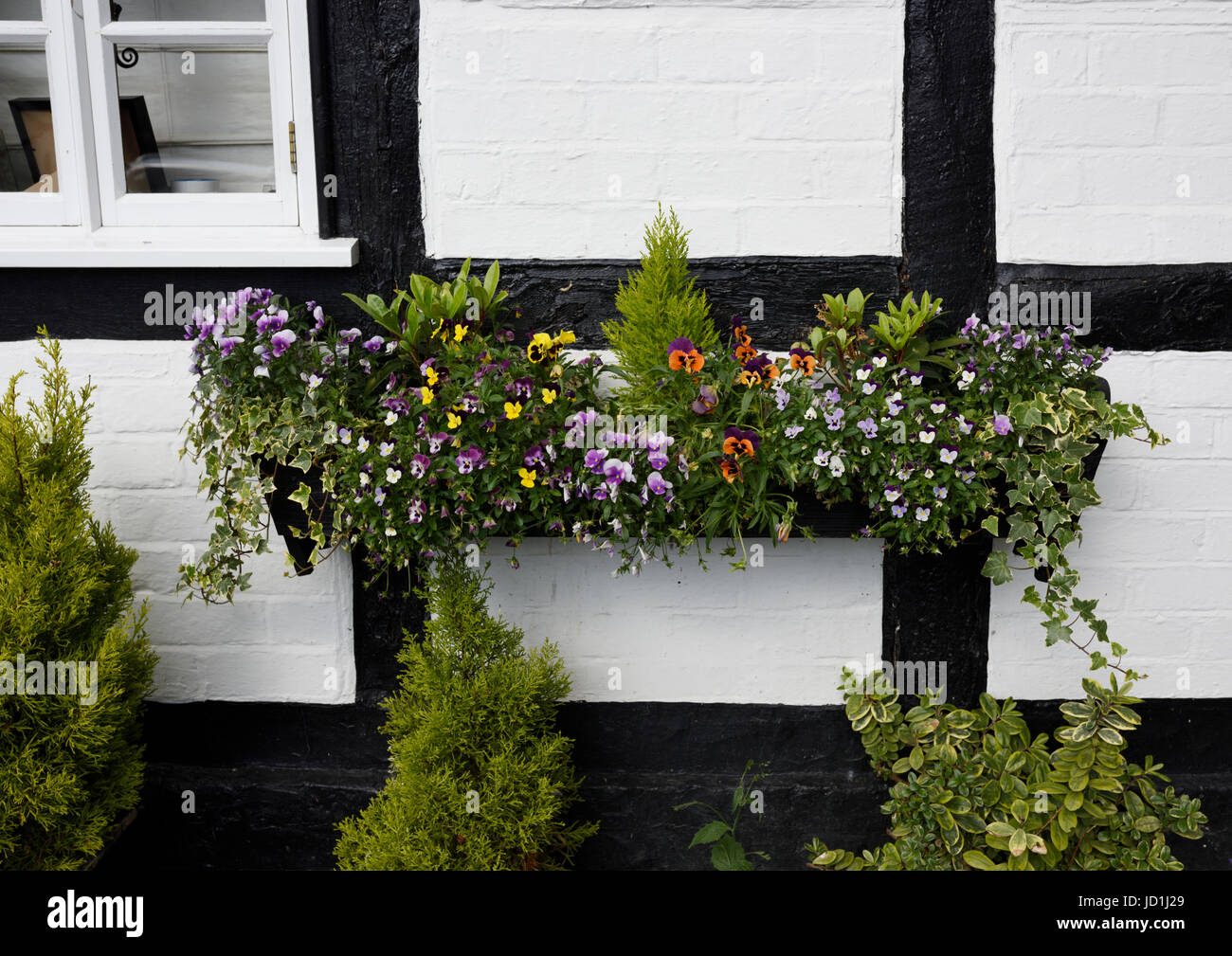 Window box overflowing with flowers on black and white timber framed cottage - Stock Image