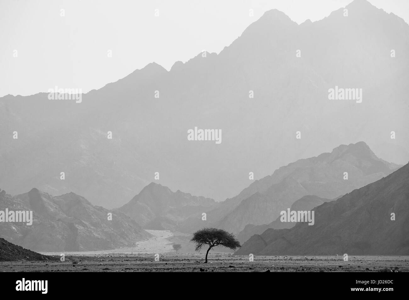 Tree in desert. South Sinai. Egypt - Stock Image