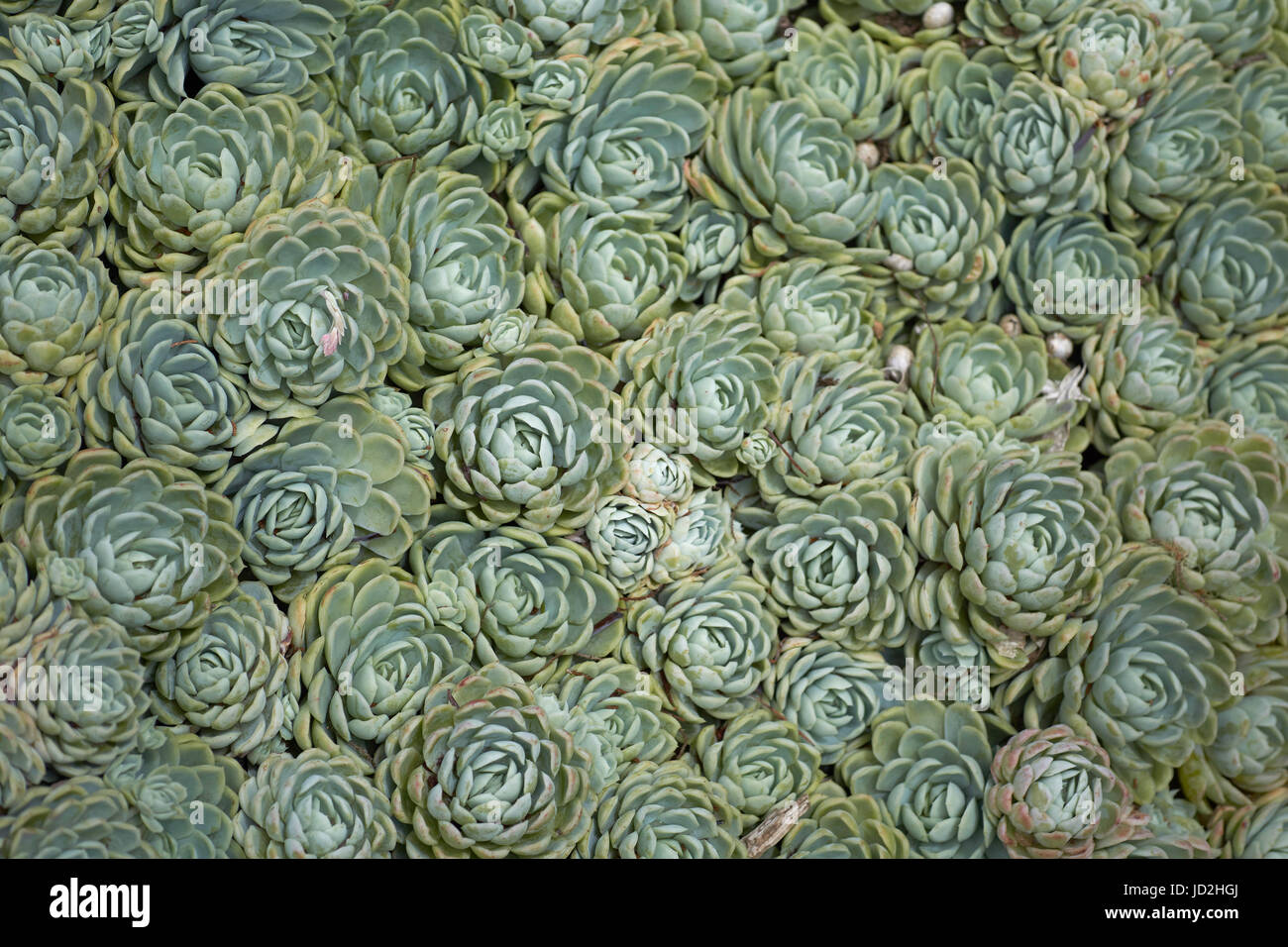 Succulent Ground Cover Stock Photos Succulent Ground Cover