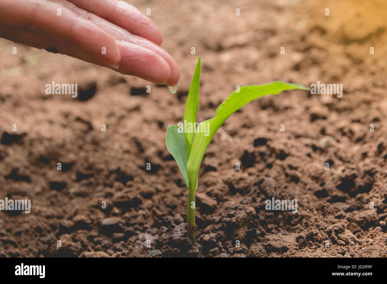 Seedling concept by human hand watering young tree over green background - Stock Image