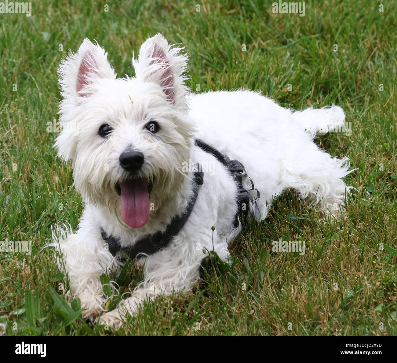 White westie with tongue on lawn - Stock Image