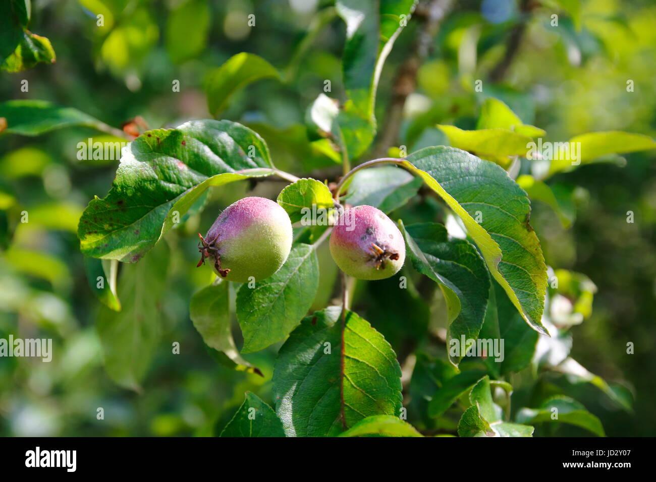 apfel frucht im wachstum direkt nach der bl te am baum stock photo 145738551 alamy. Black Bedroom Furniture Sets. Home Design Ideas