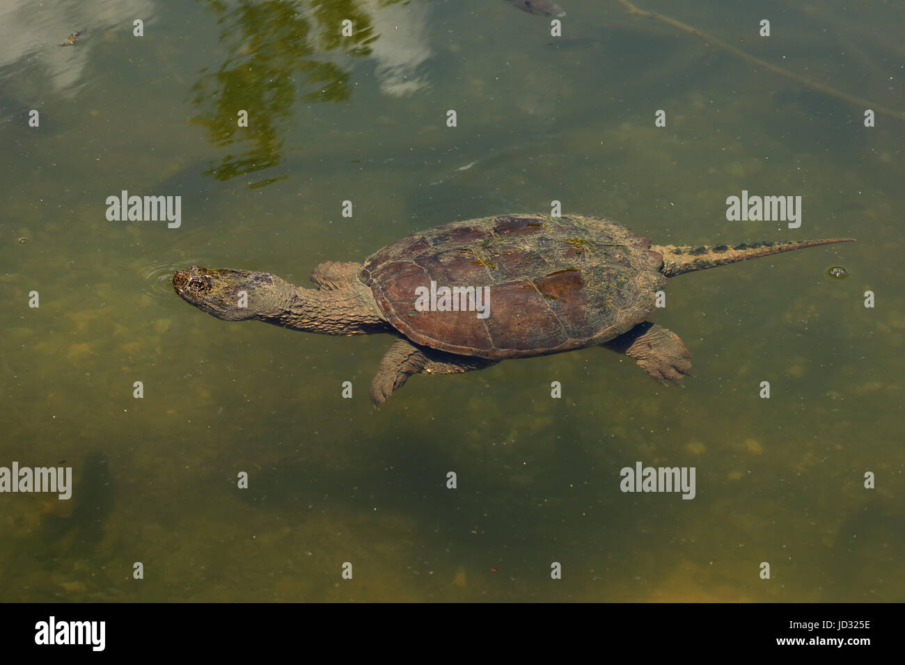Snapping turtle, Chelydra serpentina Stock Photo