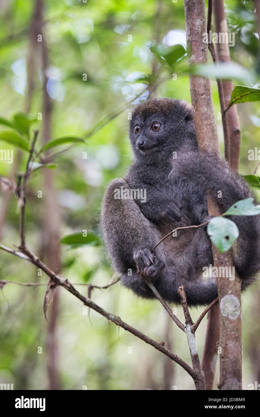 Eastern grey bamboo lemur, Ranomafana National Park, Madagascar - Stock Image