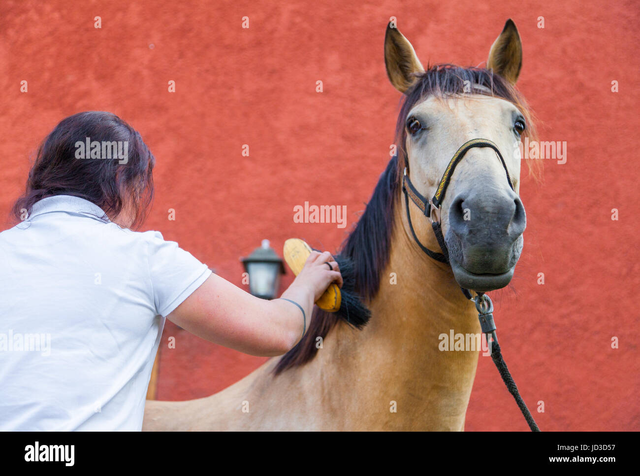 horsewoman cares her brown horse with a brush - Stock Image